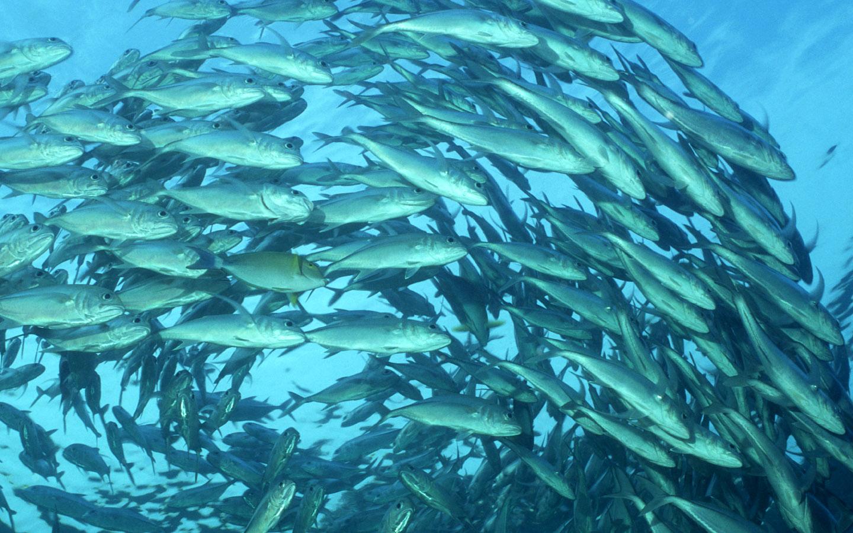 桌布下載 - 動物桌布 - 海底世界-魚群